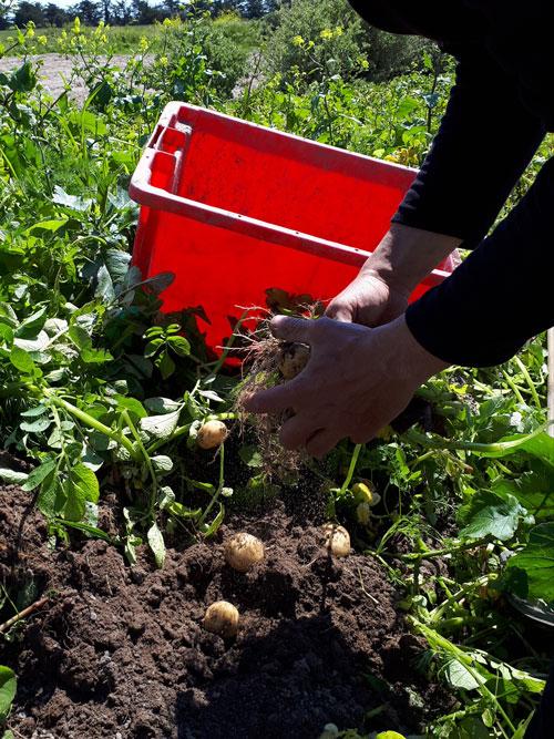 Die Ile de Noirmoutier ist bekannt für den Anbau köstlicher Kartoffeln.